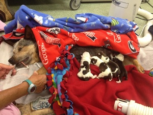 Mom-&-puppies-post-C-section