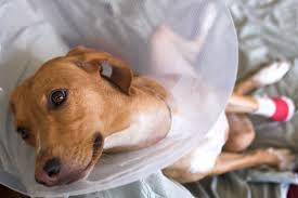 pet surgery care