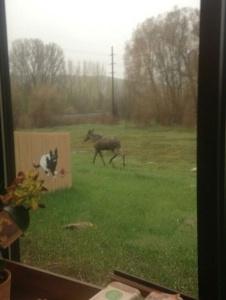 Moose by PKC