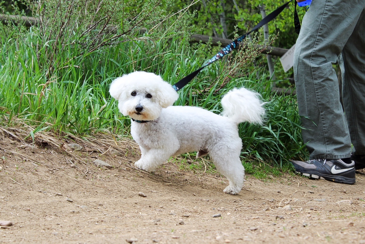 tails n trails poodle